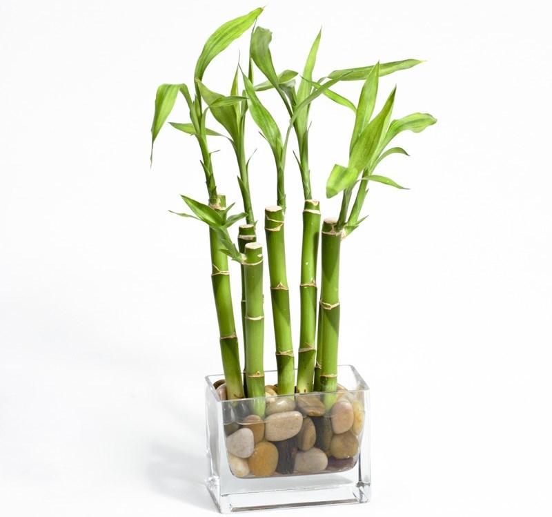 Экзотическое комнатное растение. Комнатный бамбук