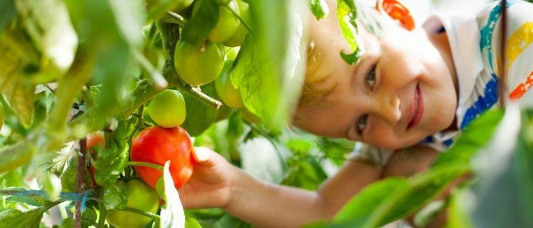 ТОП-9 лучших сортов помидоров или томатов 2019