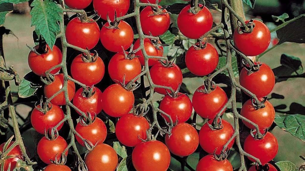 Как выбрать семена помидорок