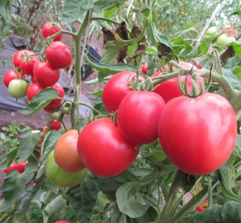 Семена томат Первоклашка фото