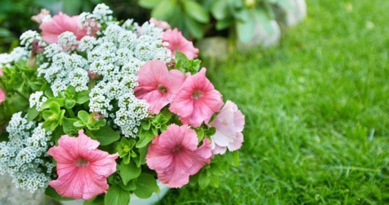 Однолетние цветы лучшие выбираем-2