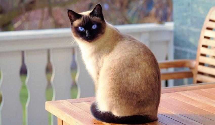 Сиамские кошки фото