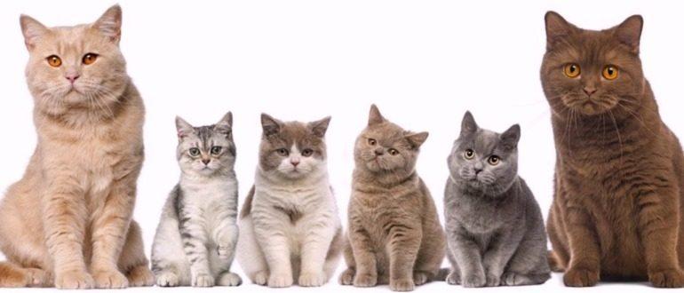 Выбираем лучшую породу кошек