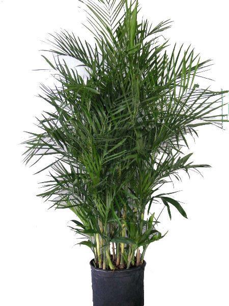 Бамбуковая пальма (Хамедорея) фото