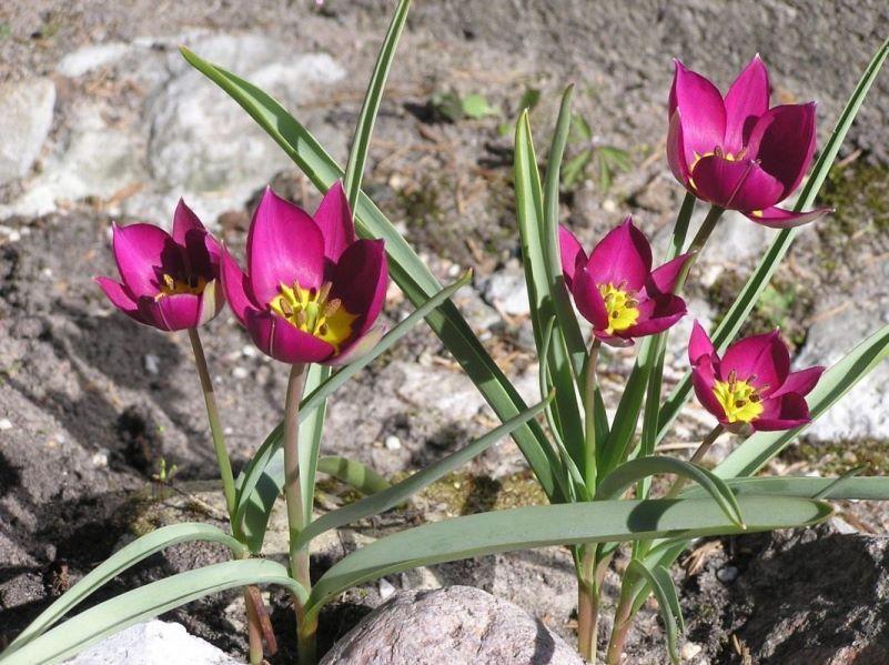 Карликовый тюльпан фото