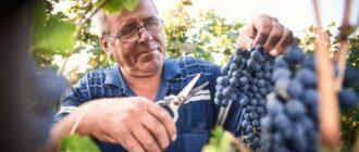 Рейтинг самых хороших сортов винограда