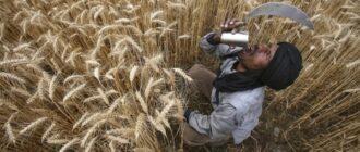 Обзор самых хороших сортов пшеницы